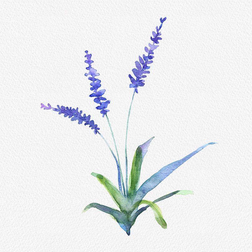 Gogivo_5798_Lavender Flower